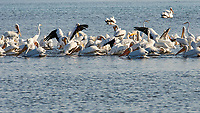 American White Pelican (Pelecanus erythrorhynchos). Fort De Soto Park. Pinellas County, Florida. Image taken with a Nikon D300 camera and 80-400 mm VR lens.