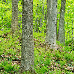 A hardwood forest, primarily sugar maples, Acer saccharum, in Epping, New Hampshire.