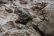 Galapagos Giant Tortoise (Geochelone elephantophus porteri)<br /> Highlands<br /> Santa Cruz Island <br /> Galapagos<br /> Ecuador,  South America