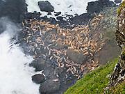 "A colony of wild steller sea lions (Eumetopias jubatus) rests below the ""Lighthouse & Sealion Beach Vantage Point"" on the Oregon coast, USA."