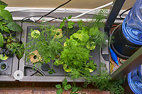 AeroGarden Farm 02-Right. Herb Plants - Basil, Dill, Parsley (106 days). Image taken with a Leica TL-2 camera and 35 mm f/1.4 lens (ISO 400, 35 mm, f/8, 1/50 sec).