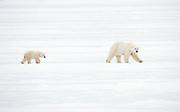 Female polar bear and cub on ice near Churchill  Ursus maritimus, Hudson Bay, Canada