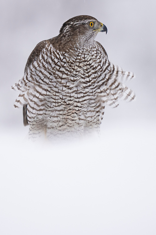 Eurasian Goshawk, immature, Accipiter gentilis, Vitbergets nature reserve, Kalvtrask, Vasterbotten, Sweden