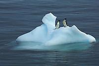 Adelie Penguins (Pygoscelis adeliae) on iceberg in the Erebus and Terror Gulf.