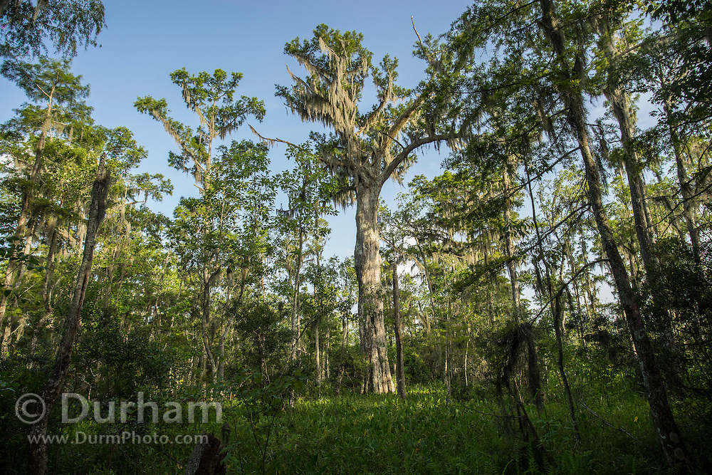 A large,  old growth bald cypress (Taxodium distichum) tree in Barataria Preserve, part of Jean Lafitte<br /> National Historical Park and Preserve,<br /> Louisiana