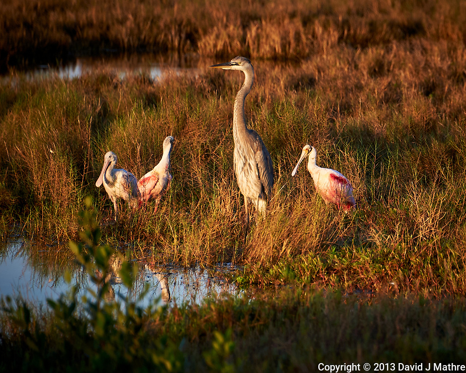 Great Blue Heron and three Roseate Spoonbills. Early morning at Biolab Road in Merritt Island National Wildlife Refuge. Image taken with a Nikon D700 camera and 18-300mm VR lens (ISO 200, 300 mm, f/6.3, 1/320 sec).