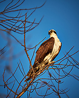 Osprey in a tree at Fort De Soto Park. Pinellas County, Florida Image taken with a Fuji X-T2 camera and 100-400 mm OIS lens (ISO 200, 400 mm, f/5.6, 1/550 sec).