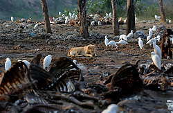 Dogs and birds scavenge through a dump filled with cow and goat carcasses that was once filled with vultures January 30, 2005 near Chandigarh, India. Farmers lament the fact that there are no longer any vultures to clear the rotting debris away quickly. Thebird has been dying rapidly from eating the poisened carcasses of cattle that had the drug Diclofenic used  to aleviate pain. (Ami Vitale)<br />
