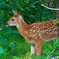 A white-tailed deer (Odocoileus virginianus) fawn pauses to listen in the understory while foraging in the woods near Big Meadows, Shenandoah National Park, Virginia.