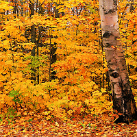 """""""Birch Bark and Autumn"""" 2<br /> <br /> A lovely old Birch tree stands prominent against a backdrop of yellow and gold Maples!!<br /> <br /> Fall Foliage by Rachel Cohen"""