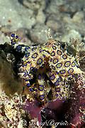 blue ring or blue-ringed octopus, <br /> Hapalochlaena lunulata, <br /> ( deadly venomous ), Mabul Island,<br /> Borneo, Malaysia, ( Celebes Sea )