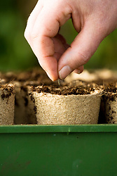 Sowing seeds of Cosmos bipinnatus 'Purity' into individual biodegradeable pots