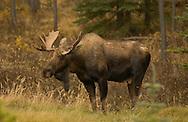 © 2003 Randy Vanderveen, all rights reserved.Grande Prairie, Alberta.A bull moose in Jasper National Park
