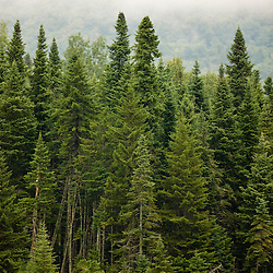 Spruce trees on a misty day on East Inlet in Pittsburg, New Hampshire.