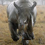 White Rhinoceros (Ceratotherium simum) walking in driving rain. The White Rhino is also know as the Grass Rhino. Lake Nakuru National Park, Kenya, Africa