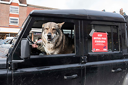 © Licensed to London News Pictures; 23/10/2020; Marlborough, UK. A dog is seen in a vehicle at a Save British Farming protest with tractors through the centre of Marlborough campaigning to maintain food standards which are under threat from a post-Brexit trade deal with the USA. There's a family stand off with local MP for Devizes, Danny Kruger, who rejected the Lords' amendments to the Agriculture Bill to maintain food and environmental standards. But his mother the famous cook Prue Leith is asking to keep those standards and Save British Farming want his mother to win this argument with the aid of tractors. Photo credit: Simon Chapman/LNP.