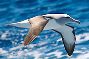 Salvin's Albatross or mollymawk, Southern Ocean, Thalassarche salvini, near the coast of New Zealand, Southern Ocean.