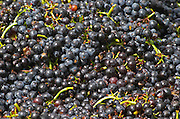 Harvested grapes. Gamay. Domaine Tracot Dubost, Beaujolais, France