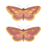 70.002 (1698)<br /> Purple-bordered Gold - Idaea muricata