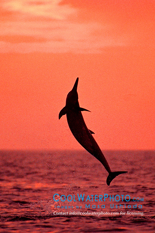 long-snouted Long-snouted Spinner Dolphin, leaping at sunset, Stenella longirostris, off Kona Coast, Big Island, Hawaii, Pacific Ocean