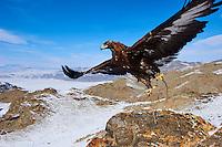 Mongolie, province de Bayan-Olgii, aigle royal dans les monts Altai // Mongolia, Bayan-Olgii province, Golden Eagle, in Altai mountains