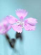 Dianthus  - single pink seedling