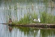 Mew Gull on nest with American Wigeon Female