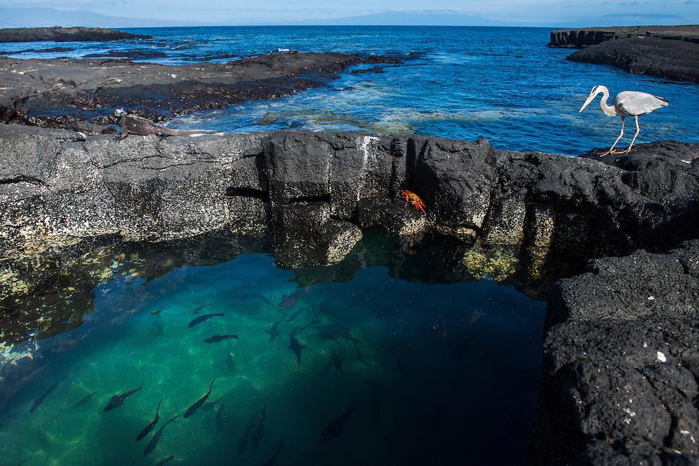 Marine Iguana (Amblyrhynchus cristatus) with Sally Lightfoot Crabs (Graspus graspus) Great Blue Heron (Ardea herodias) and Creole Fish (Paranthias colonus)<br /> Puerto Egas<br /> Santiago<br /> Galapagos<br /> Ecuador, South America<br /> ENDEMIC TO THE ISLANDS