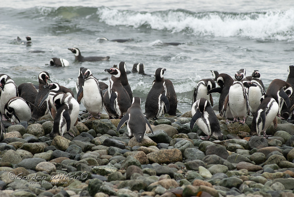 Magellanic Penguins leave and enter the ocean at a stony beach on Magdalena Island in the Strait of Magellan, Chile.