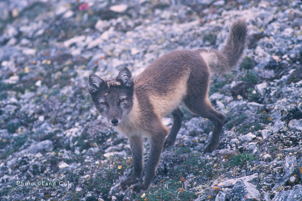 Arctic fox, Nuneagan Island, summer, Senyavina Strait, Bering Sea, Chukotsk Peninsula, Northeast Russia. Photo used by permission of Land Cole.