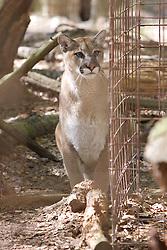 Cougar, Big Cat Rescue