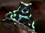 Green and black poison dart or arrow frog, Dendrobates auratus, Hacienda Baru, Costa Rica, tropical jungle, South America.Central America....
