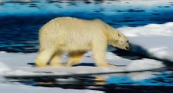 Polar Bear in Nordaustlandet, Svalbard