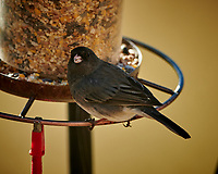 Dark-eyed Junco at a bird feeder. Image taken with a Nikon D850 camera and 500 mm f/4 VR telephoto lens (ISO 200, 500 mm, f/4, 1/500 sec).