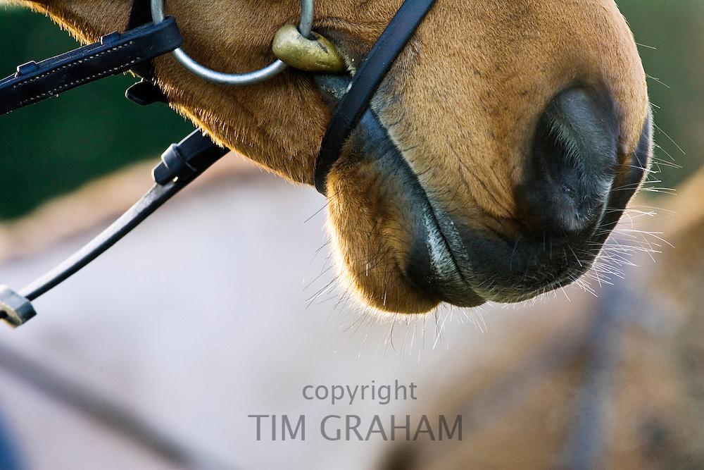 Cleveland Bay Cross Thoroughbred horse, Oxfordshire, United Kingdom.