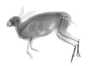 An x-ray of a Eastern Cottontail Rabbit (Sylvilagus floridanus)  This Eastern Cottontail was hit by a car, and on close inspection the x-ray shows numerous broken bones.  The eastern cottontail is an herbivore. Note the unique teeth, designed to eat plants.