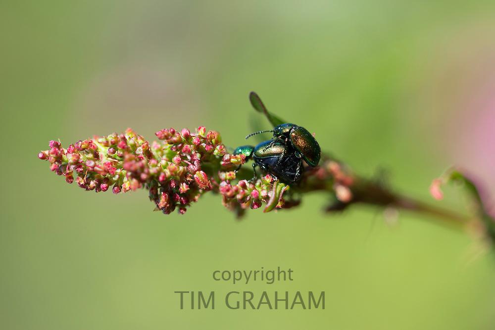 Breeding pair of Green Bottle Flies, Lucilia sericata, mating on a flowering plant, UK
