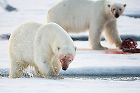 Polar bear in the Svalbard archipelago, Norway. Portraits of a species on the edge of a changing world. A world of extremes are becoming ever more extreme.