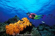 diver examines elephant ear sponge, <br /> Agelas clathrodes, Cozumel, Mexico, <br /> ( Caribbean Sea )  MR 138