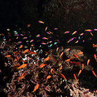 Anthias are members of the family Serranidae and make up the subfamily Anthiinae. Anthias make up a sizeable portion of the population of pink, orange, and yellow reef fishes seen swarming in most coral reefs.