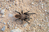 A great find! A subadult Texas tan tarantula is seen out in the open in broad daylight in the Lower Rio Grande Valley of South Texas on a hot autumn afternoon. These long-lived, gentle spiders are harmless to humans and can be found throughout most of Southeast Texas.