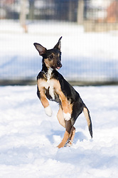 Wallace a four month old mixed breed rescue puppy dog plays for the first time in the snow while out for a walk in a local park  7 February 2009 © Paul David Drabble Small young black and tan mongrel puppy runs across snow covered park.