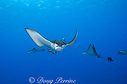 spotted eagle ray, Aetobatus narinari, being cleaned by a terminal phase bluehead wrasse, Thalassoma amblycephalum, and a bicolor cleaner wrasse, Labroides bicolor, at Ice Cream Bommie, Saipan, Commonwealth of Northern Mariana Islands, Micronesia, Pacific Ocean
