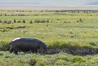 Hippopotamus, Hippopotamus amphibius, approaches a small stream in Ngorongoro Crater, Ngorongoro Conservation Area, Tanzania
