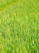 A rice paddy in Wayanad, Kerala, India