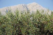Olive tree (Olea europea) infront of Gennargentu<br /> Sardinia, Italy