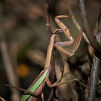Brown Praying Mantis. Autumn Backyard Nature in New Jersey. Image taken with a Nikon D3x and 300 mm f/2.8 VR lens (ISO 100, 300 mm, f/8, 1/250 sec).