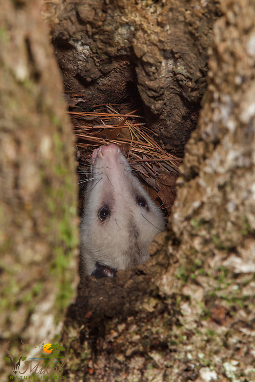 Opossum close-up in tree hollow