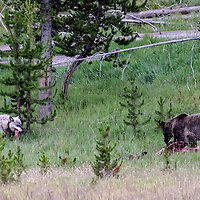 """Face Off! Apex predators take a moment to dine """"together"""", each keeping a wary eye on each other! Yellowstone National Park, Wyoming."""