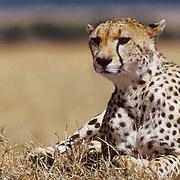 Cheetah, (Acinonyx jubatus) Portrait of adult. Masai Mara Game Reserve. Kenya. Africa